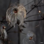 Clematis seed straggler
