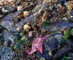 bat star with turban snails
