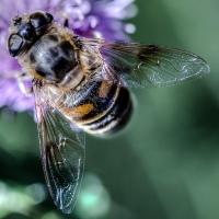 Wasp Wannabe