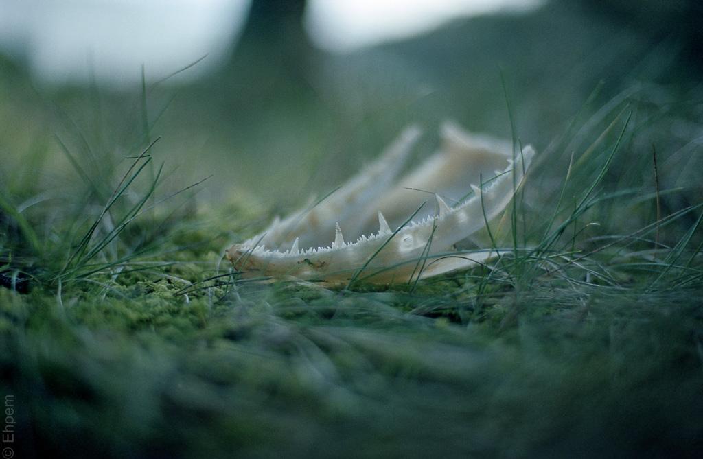 Eagle droppings - salmon mandible